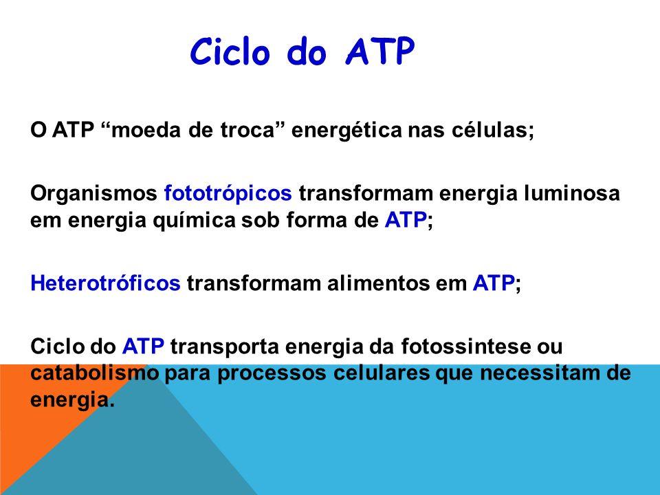 Ciclo do ATP O ATP moeda de troca energética nas células;