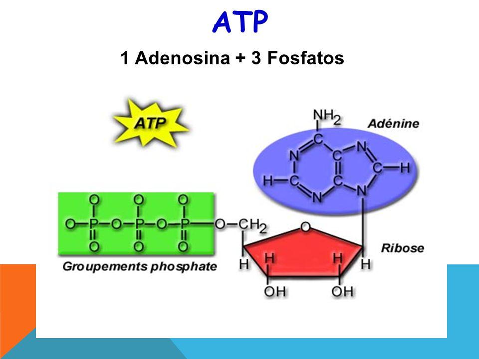 ATP 1 Adenosina + 3 Fosfatos