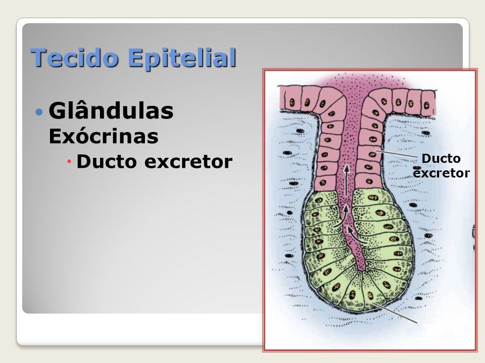 Tecido Epitelial Glândulas Exócrinas Ducto excretor Ducto excretor