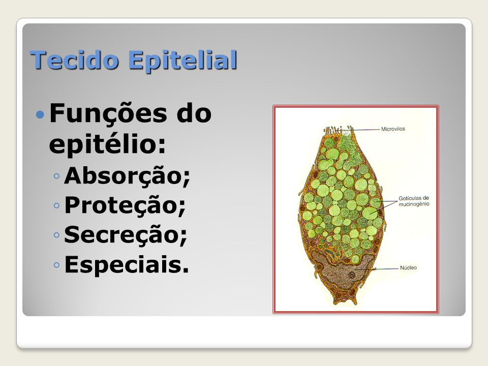 Funções do epitélio: Tecido Epitelial Absorção; Proteção; Secreção;