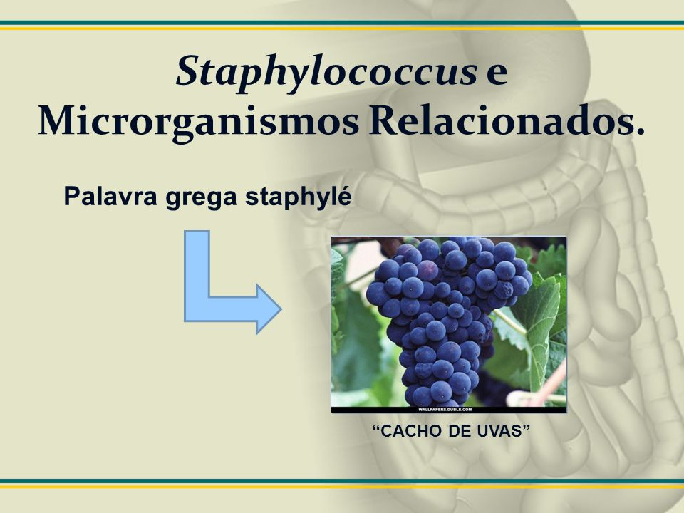 Staphylococcus e Microrganismos Relacionados. Palavra grega staphylé