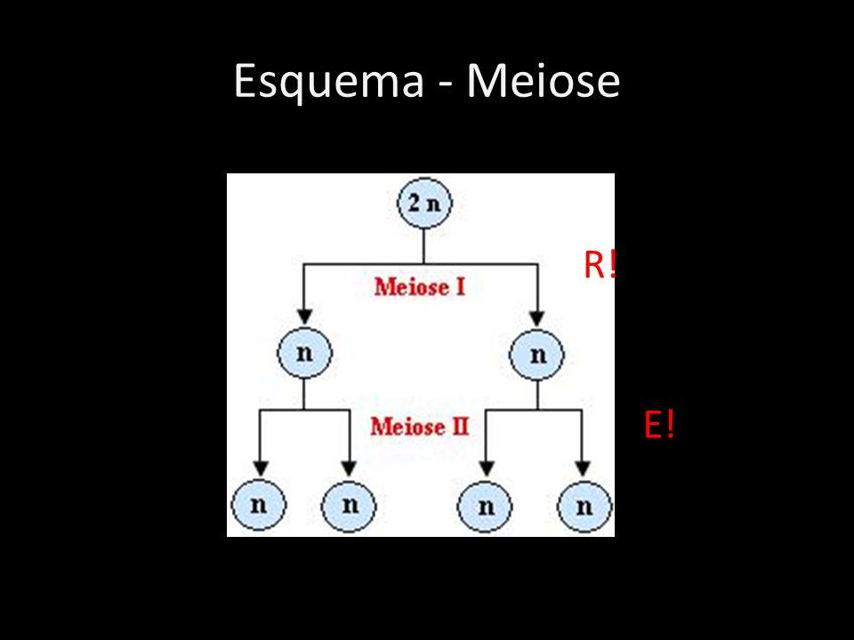 Esquema - Meiose R! E!