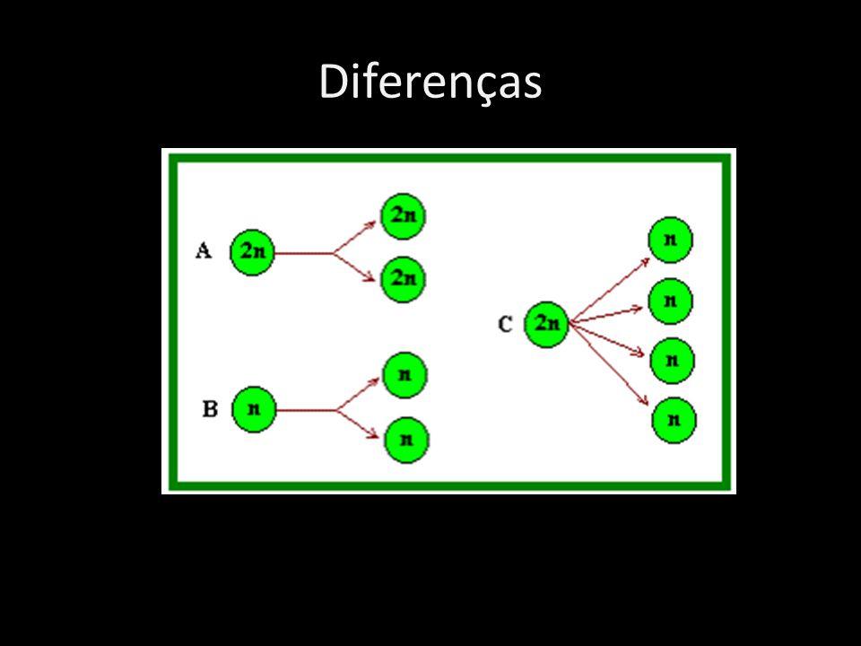 Diferenças A – mitose em célula diplóide B- mitose em célula haplóide