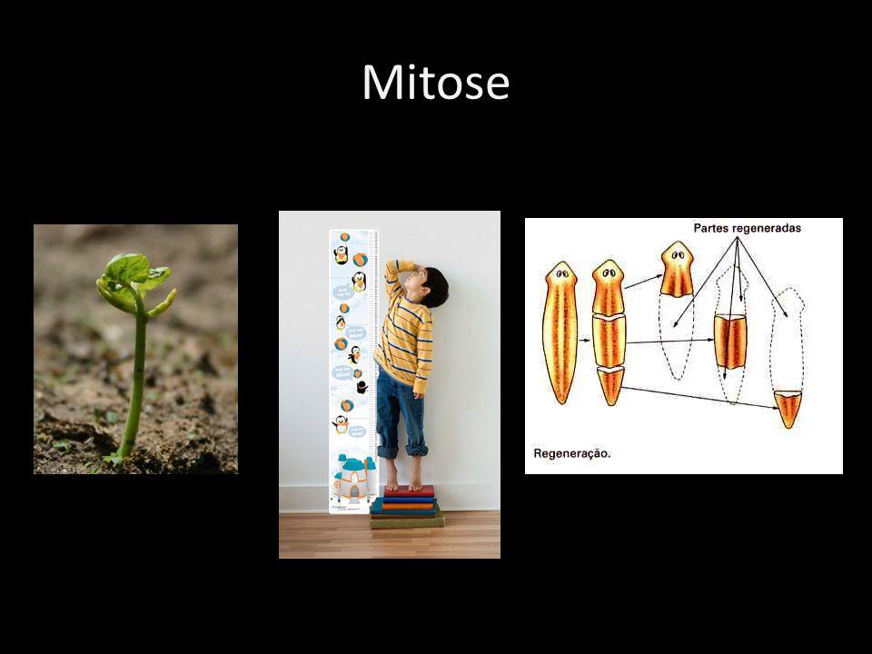 Mitose Objetivo da Mitose Crescimento