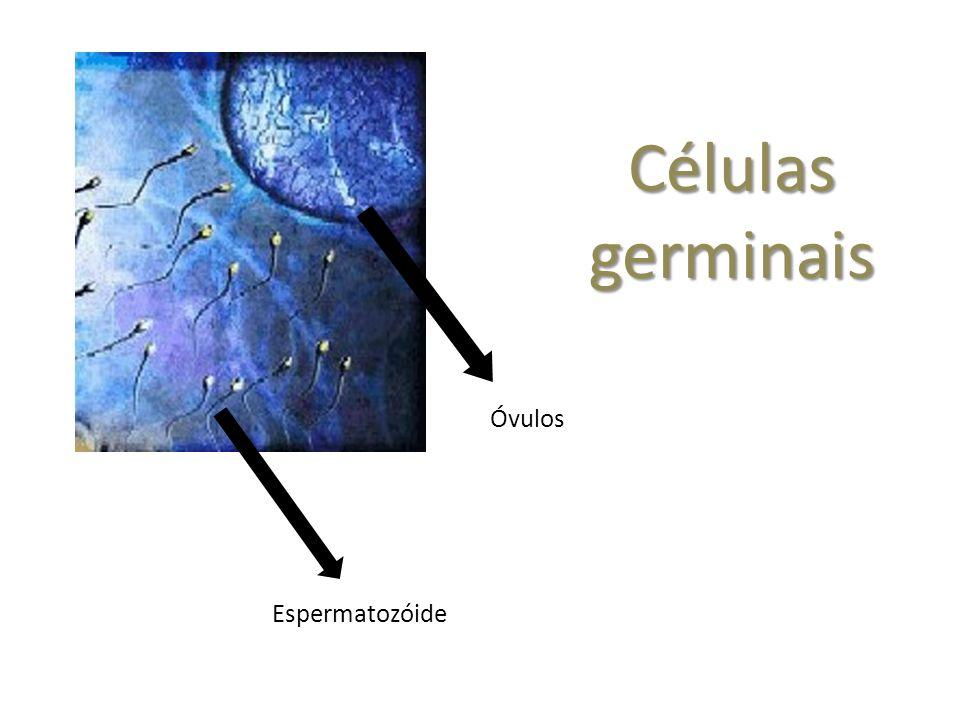 Células germinais Óvulos Espermatozóide
