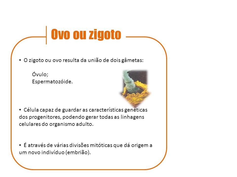 Ovo ou zigoto O zigoto ou ovo resulta da união de dois gâmetas: Óvulo;