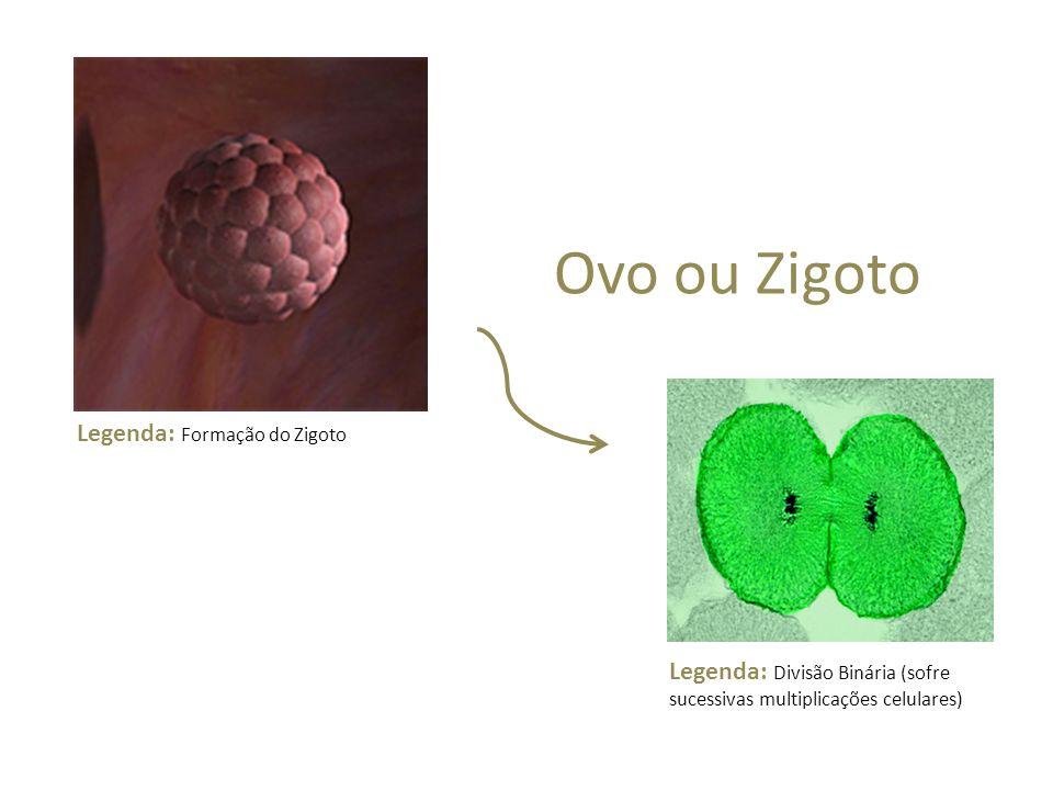 Ovo ou Zigoto Legenda: Formação do Zigoto