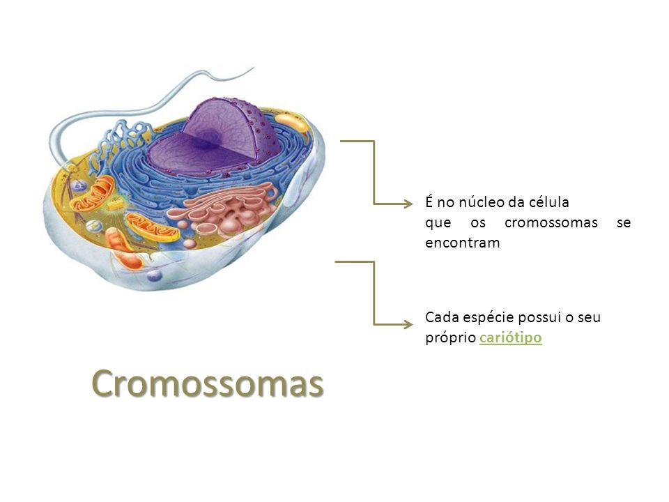 Cromossomas É no núcleo da célula que os cromossomas se encontram