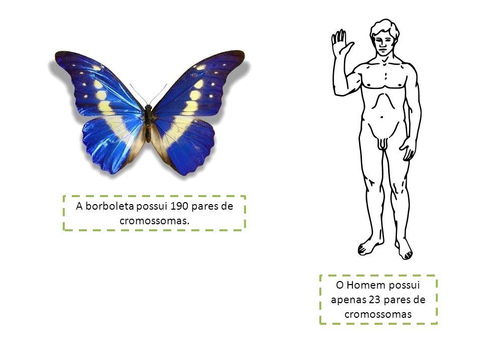 A borboleta possui 190 pares de cromossomas.