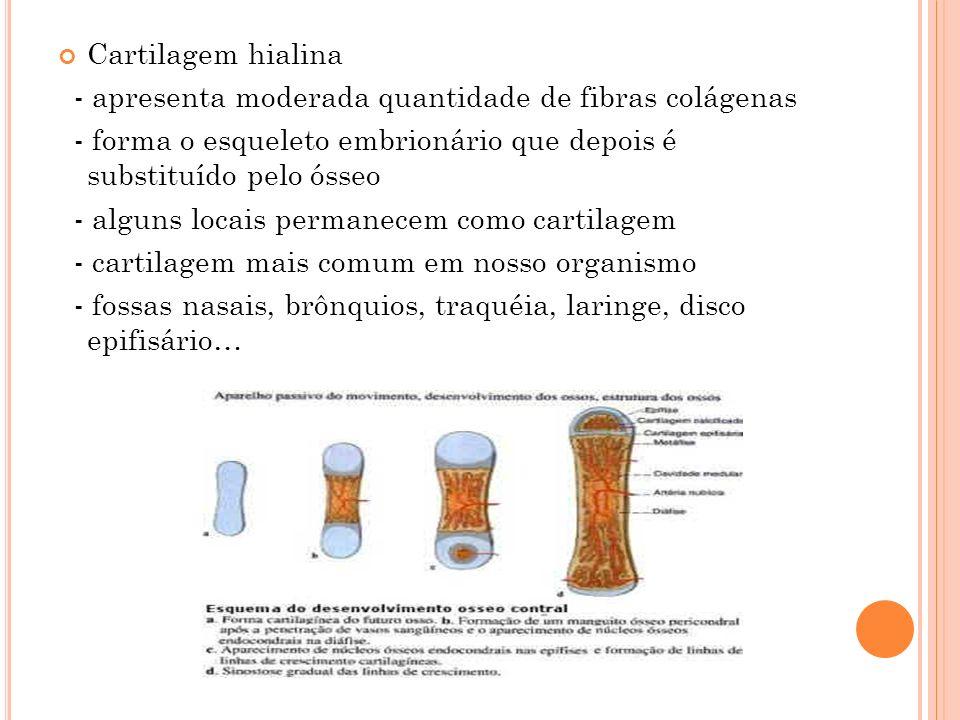 Cartilagem hialina - apresenta moderada quantidade de fibras colágenas. - forma o esqueleto embrionário que depois é substituído pelo ósseo.
