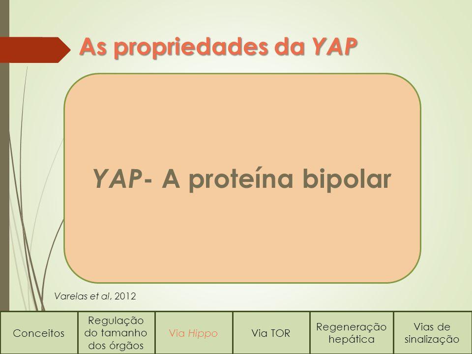 YAP- A proteína bipolar