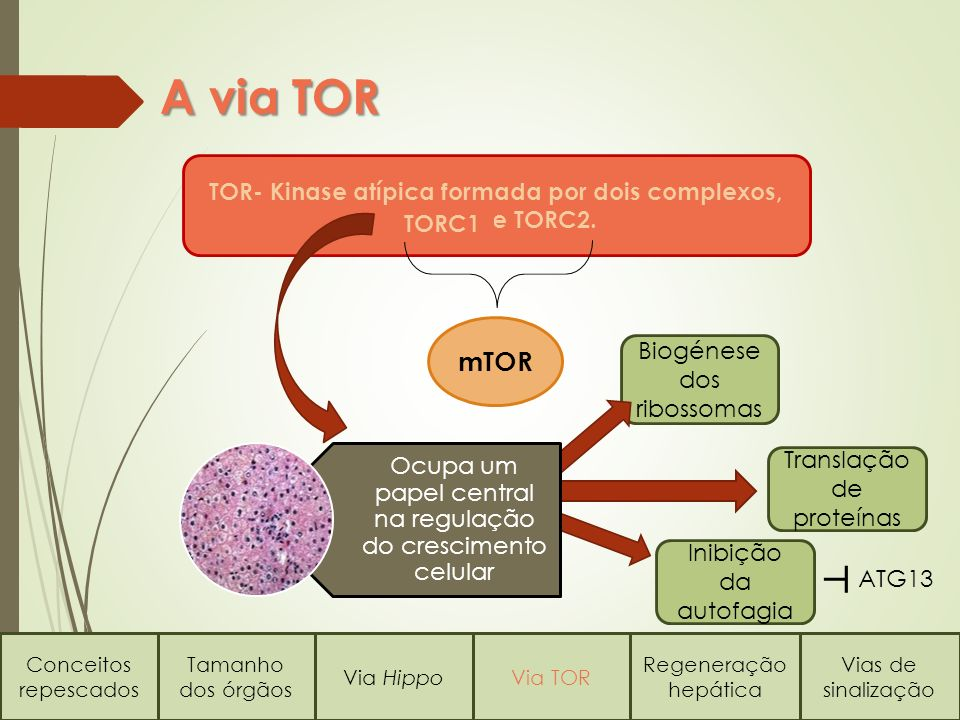 TOR- Kinase atípica formada por dois complexos, e TORC2.