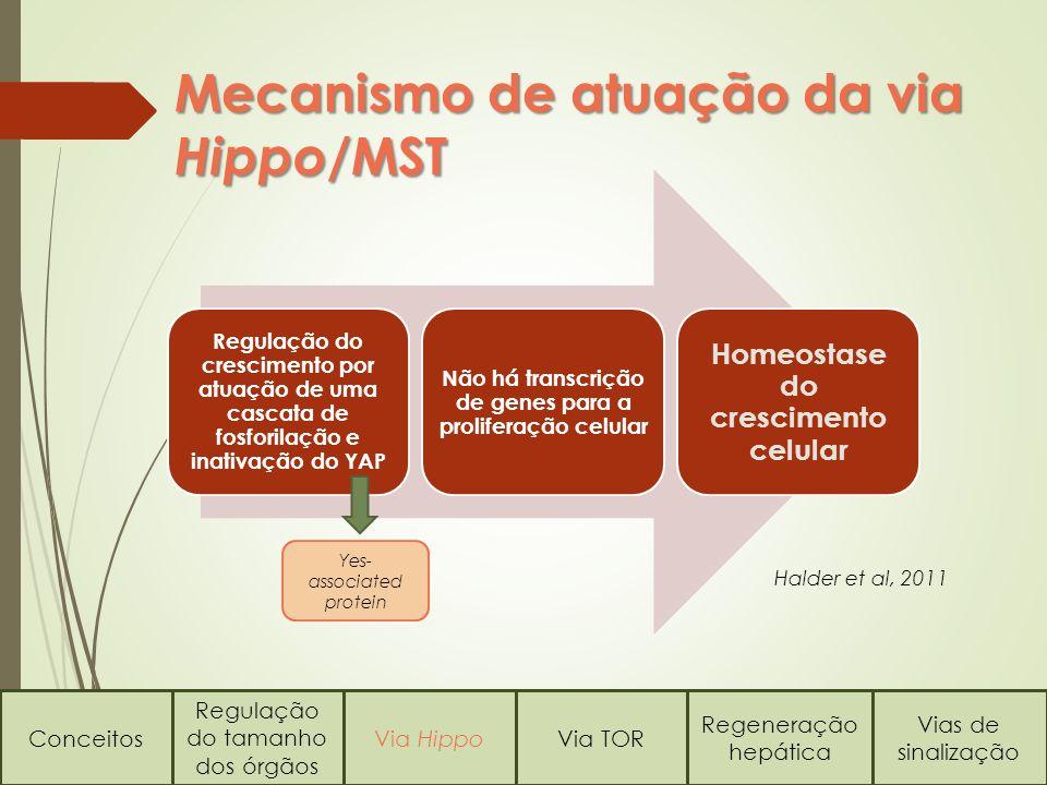 Mecanismo de atuação da via Hippo/MST