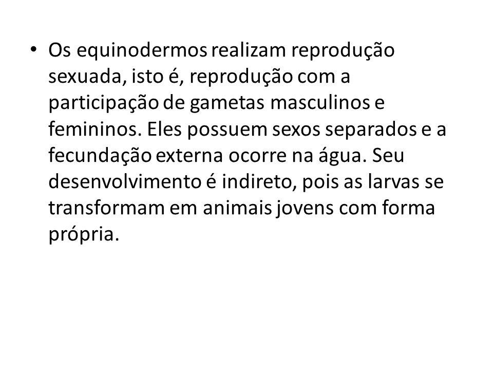 Os equinodermos realizam reprodução sexuada, isto é, reprodução com a participação de gametas masculinos e femininos.