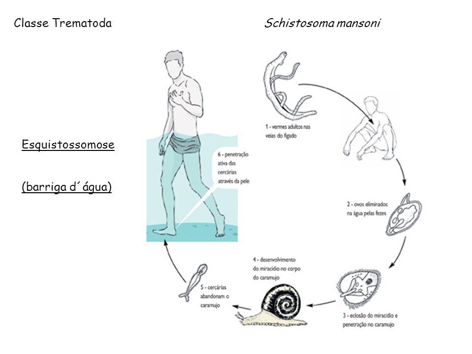 Classe Trematoda Schistosoma mansoni