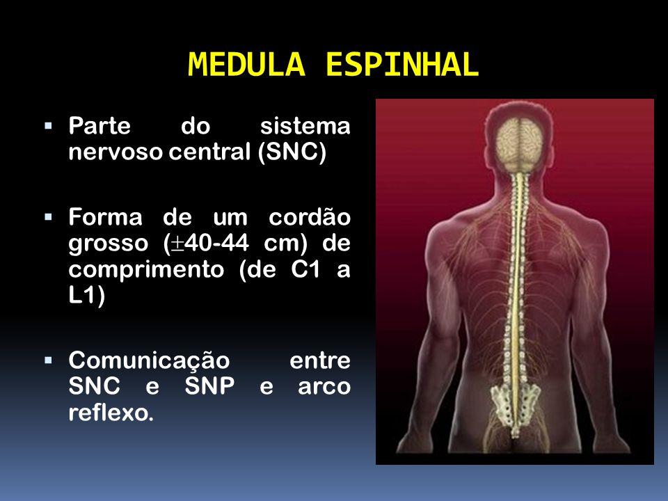 MEDULA ESPINHAL Parte do sistema nervoso central (SNC)
