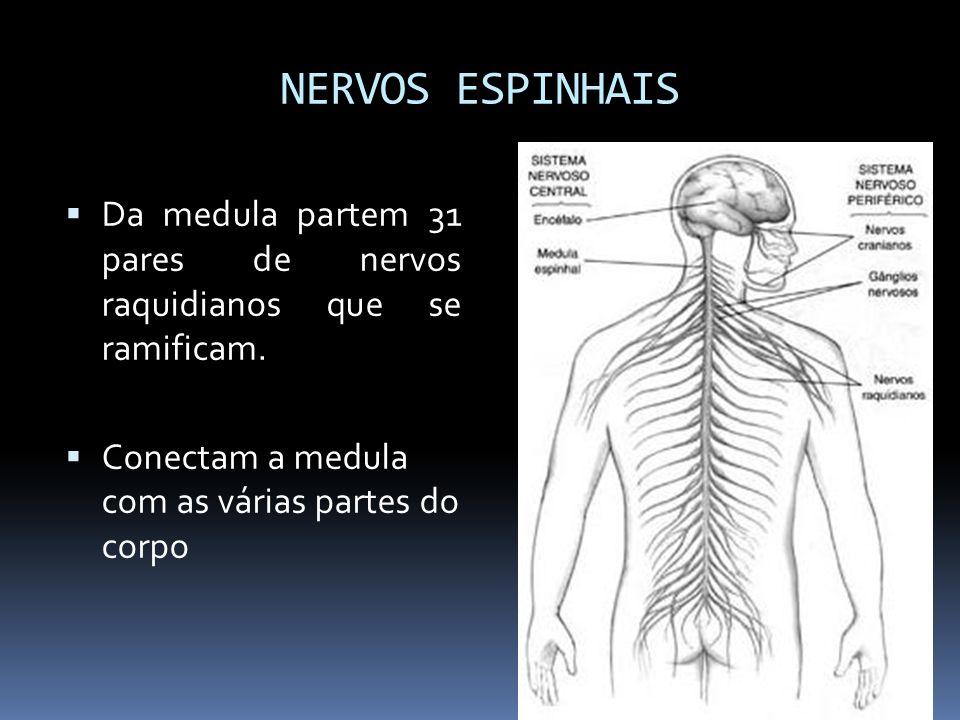 NERVOS ESPINHAIS Da medula partem 31 pares de nervos raquidianos que se ramificam.