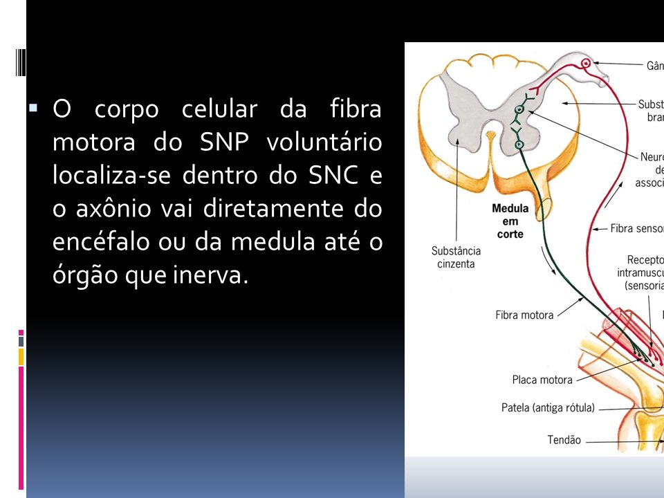 O corpo celular da fibra motora do SNP voluntário localiza-se dentro do SNC e o axônio vai diretamente do encéfalo ou da medula até o órgão que inerva.
