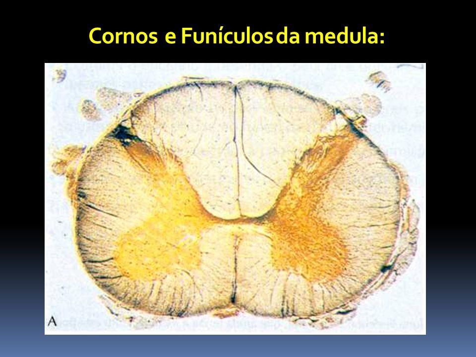 Cornos e Funículos da medula: