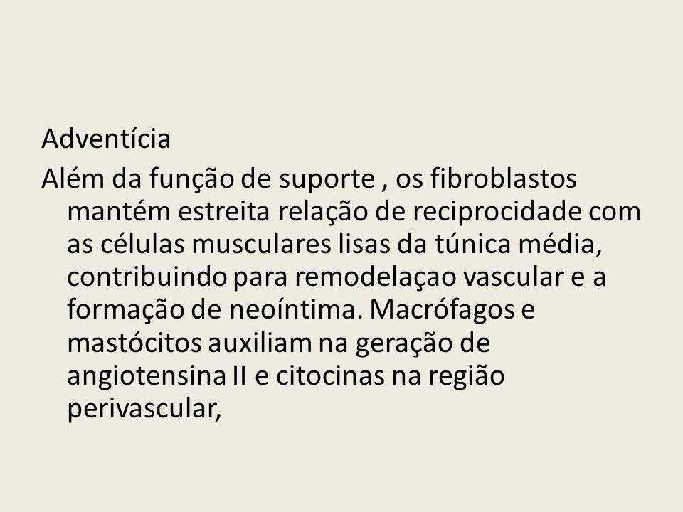 Adventícia Além da função de suporte , os fibroblastos mantém estreita relação de reciprocidade com as células musculares lisas da túnica média, contribuindo para remodelaçao vascular e a formação de neoíntima.