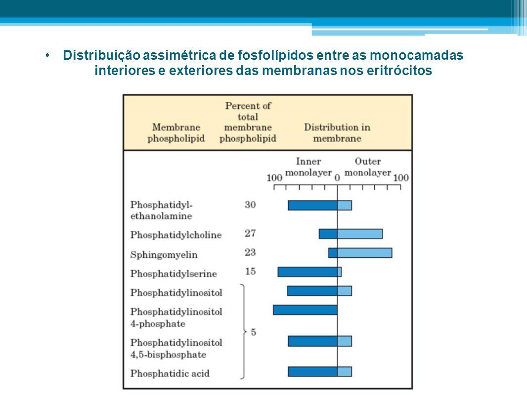 Distribuição assimétrica de fosfolípidos entre as monocamadas interiores e exteriores das membranas nos eritrócitos