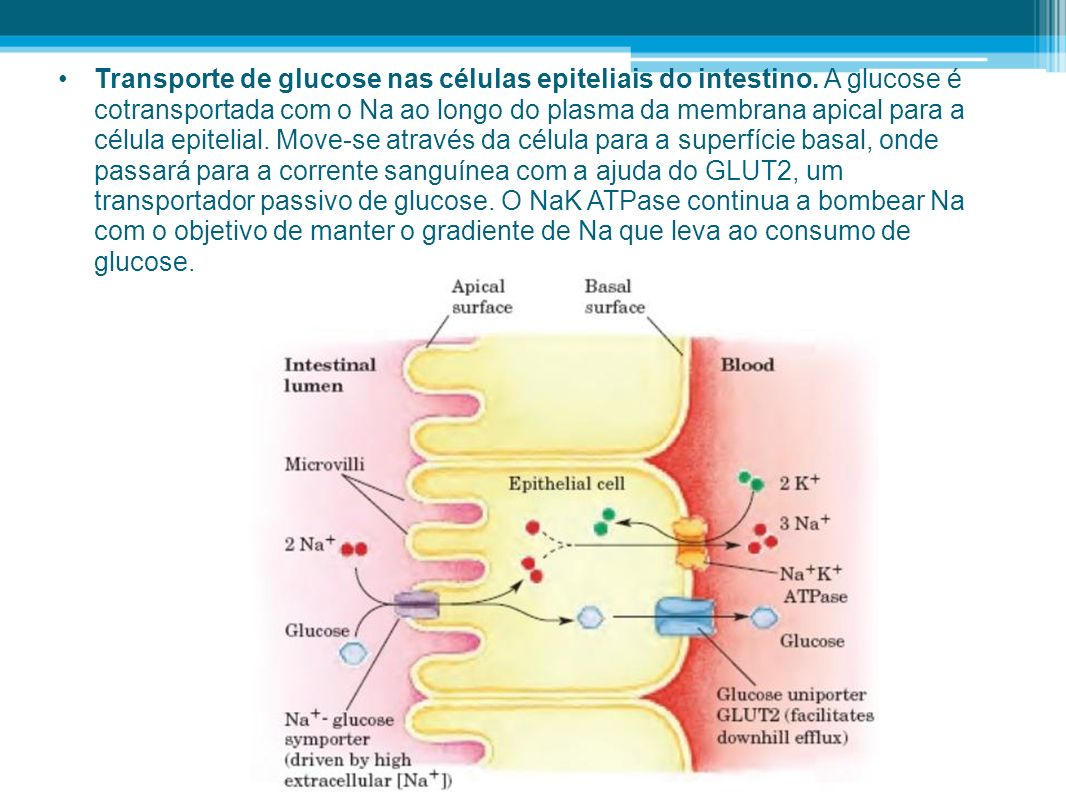 Transporte de glucose nas células epiteliais do intestino