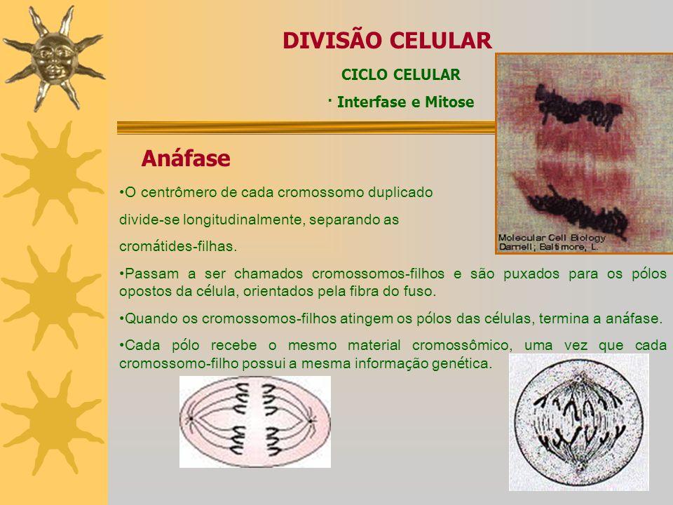 DIVISÃO CELULAR Anáfase CICLO CELULAR · Interfase e Mitose