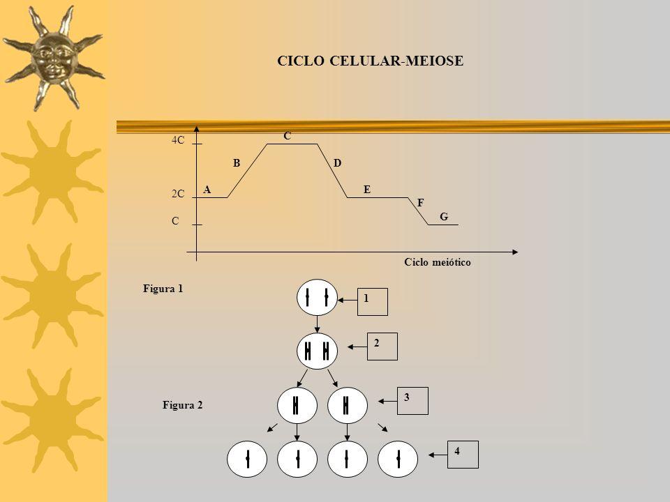 CICLO CELULAR-MEIOSE 1 2 3 4 Figura 2 4C 2C C Ciclo meiótico Figura 1