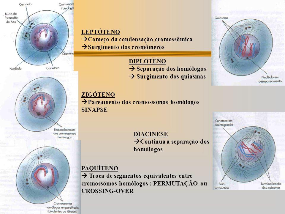 LEPTÓTENO Começo da condensação cromossômica. Surgimento dos cromômeros. DIPLÓTENO.  Separação dos homólogos.