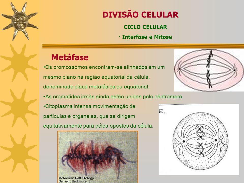 DIVISÃO CELULAR Metáfase CICLO CELULAR · Interfase e Mitose