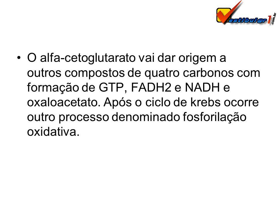 O alfa-cetoglutarato vai dar origem a outros compostos de quatro carbonos com formação de GTP, FADH2 e NADH e oxaloacetato.