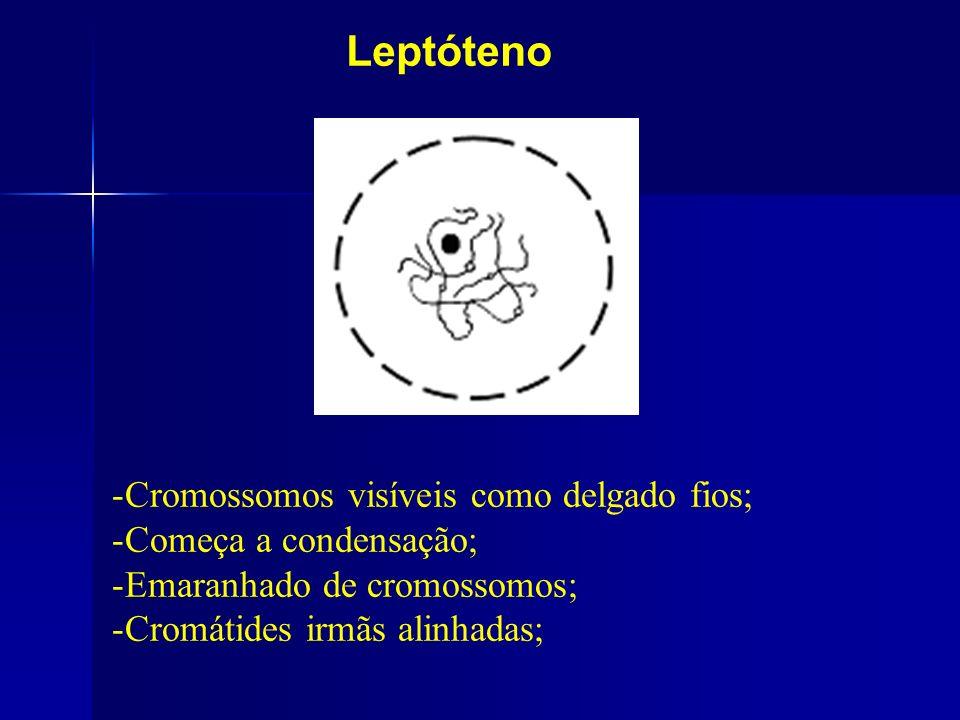 Leptóteno Cromossomos visíveis como delgado fios;