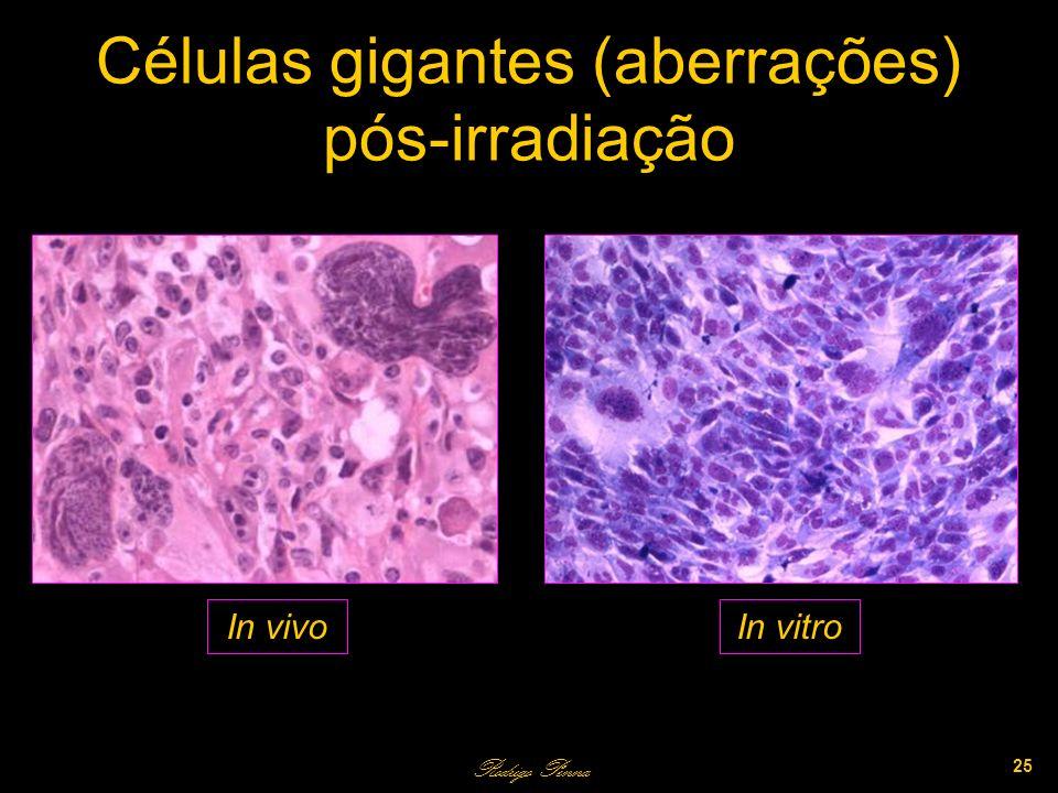 Células gigantes (aberrações) pós-irradiação