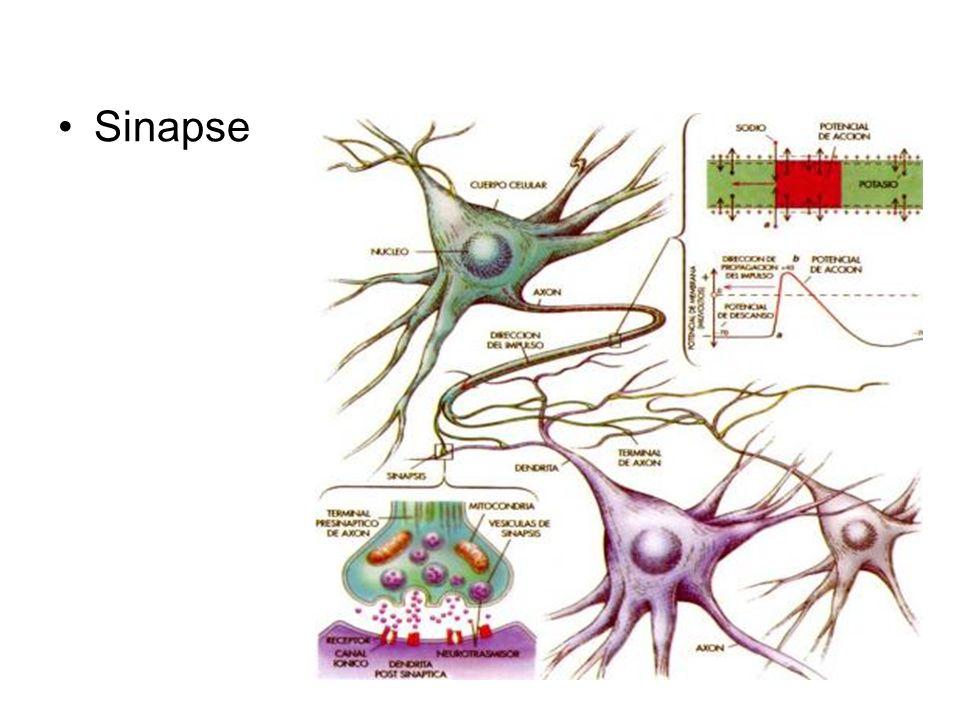 Sinapse