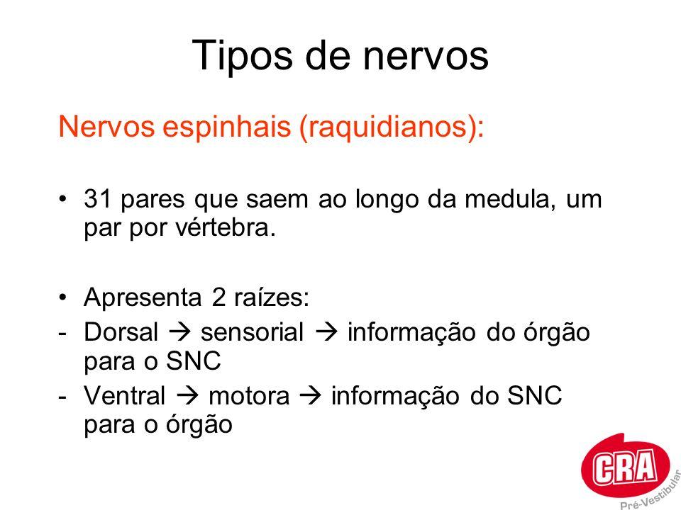 Tipos de nervos Nervos espinhais (raquidianos):