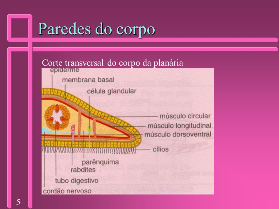Paredes do corpo Corte transversal do corpo da planária