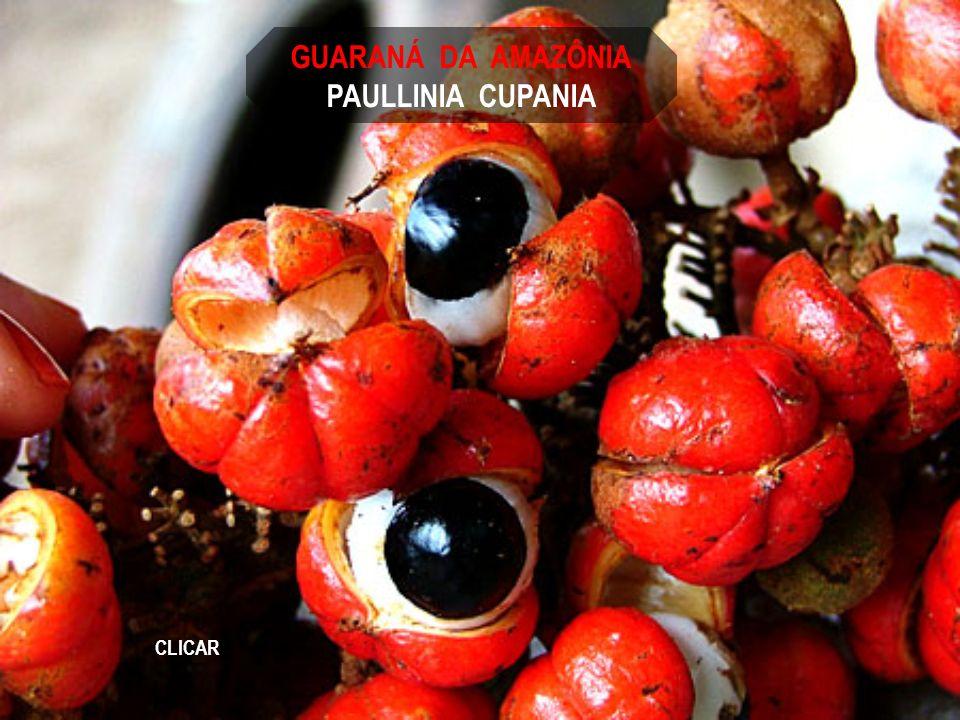 GUARANÁ DA AMAZÔNIA PAULLINIA CUPANIA