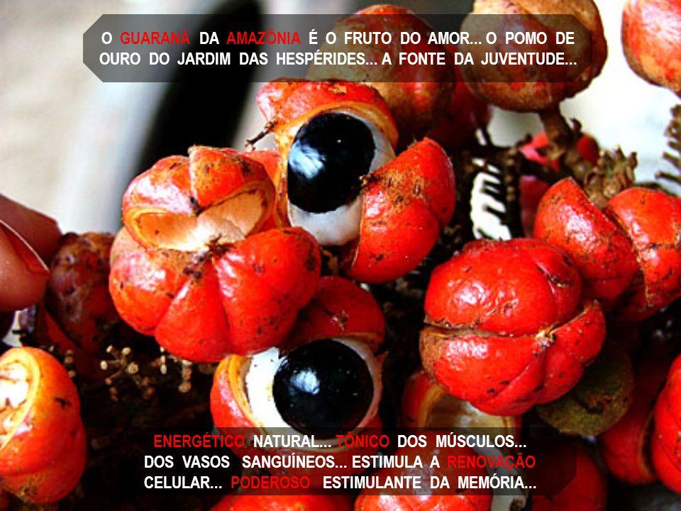 O GUARANÁ DA AMAZÔNIA É O FRUTO DO AMOR... O POMO DE