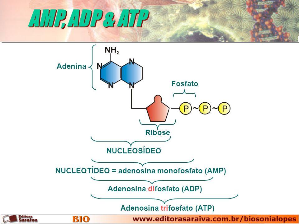 AMP, ADP & ATP Adenina Fosfato Ribose NUCLEOSÍDEO
