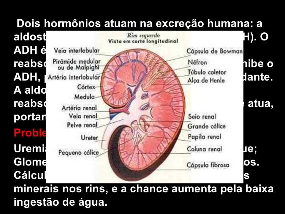 Dois hormônios atuam na excreção humana: a aldosterona e o hormônio antidiurético (ADH). O ADH é liberado pela hipófise e facilita a reabsorção de água nos néfrons. O álcool inibe o ADH, produzindo urina mais diluída e abundante. A aldosterona, das supra-renais, aumenta a reabsorção de íons nos túbulos do néfron e atua, portanto, no controle osmótico do sangue.