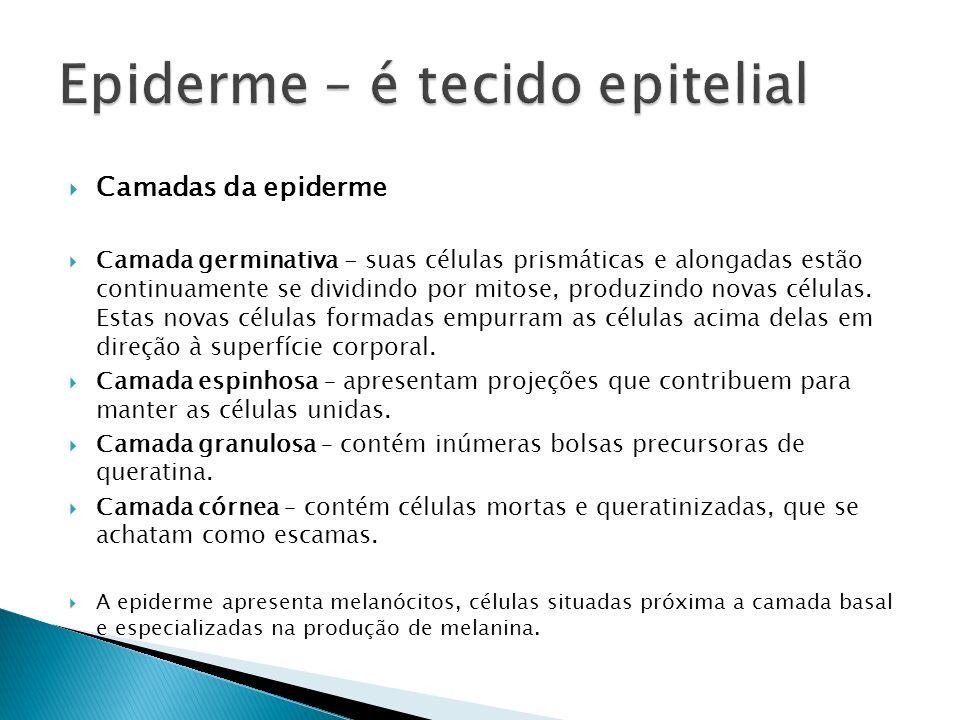 Epiderme – é tecido epitelial