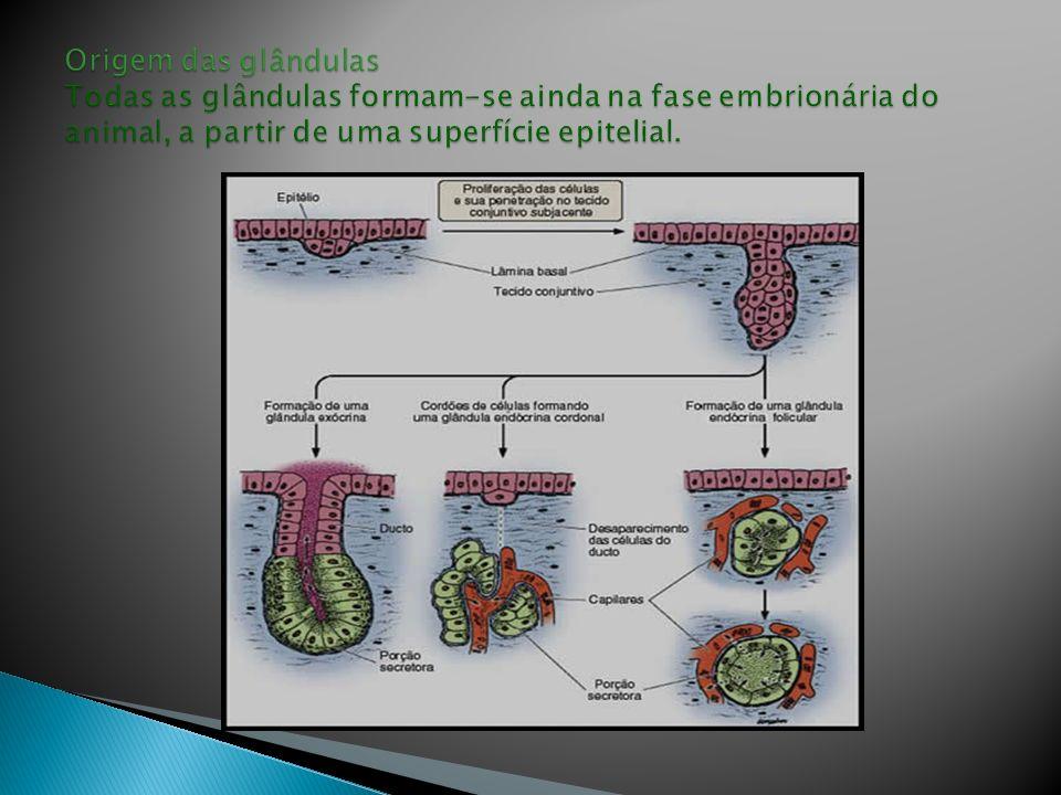 Origem das glândulas Todas as glândulas formam-se ainda na fase embrionária do animal, a partir de uma superfície epitelial.