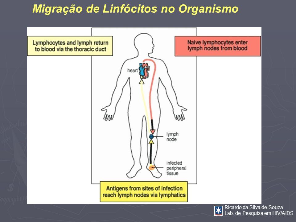 Migração de Linfócitos no Organismo