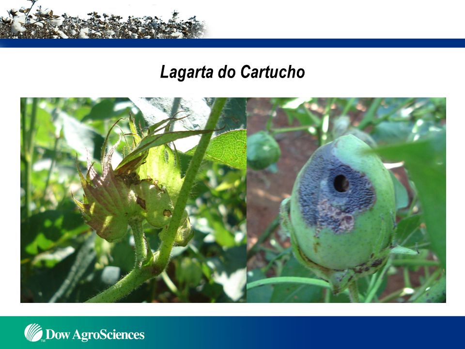 Lagarta do Cartucho