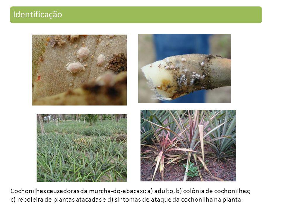 Identificação Cochonilhas causadoras da murcha-do-abacaxi: a) adulto, b) colônia de cochonilhas;