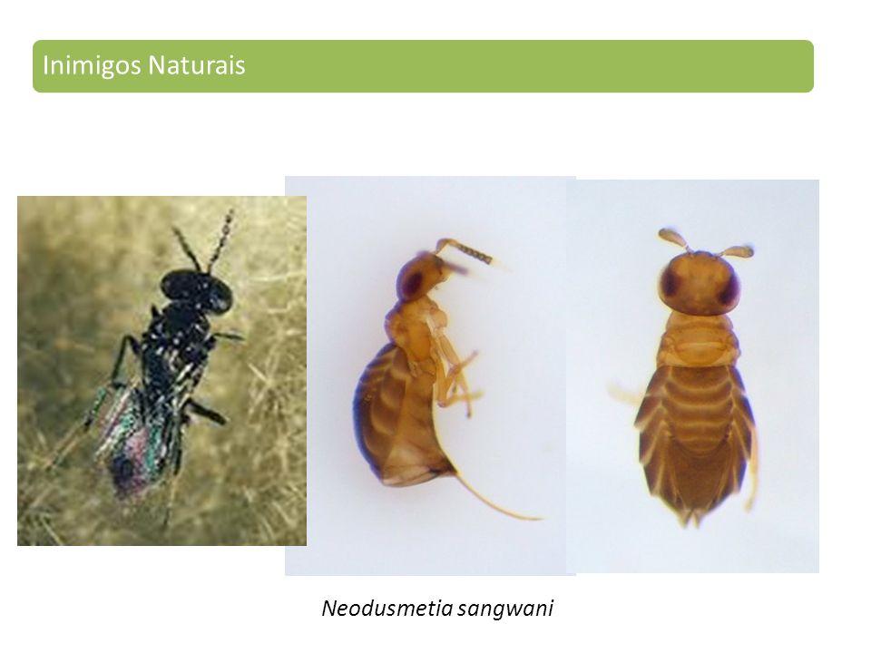 Inimigos Naturais Neodusmetia sangwani
