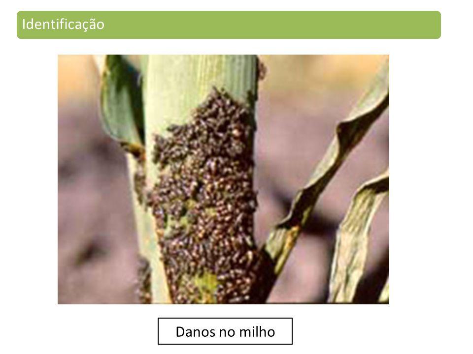 Identificação Danos no milho