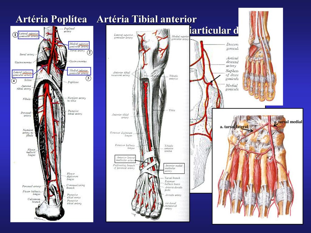 Moderno Anatomía De La Arteria Tibial Imágenes - Anatomía de Las ...
