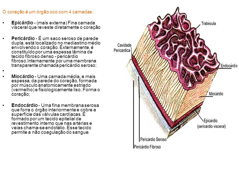 O coração é um órgão oco com 4 camadas: