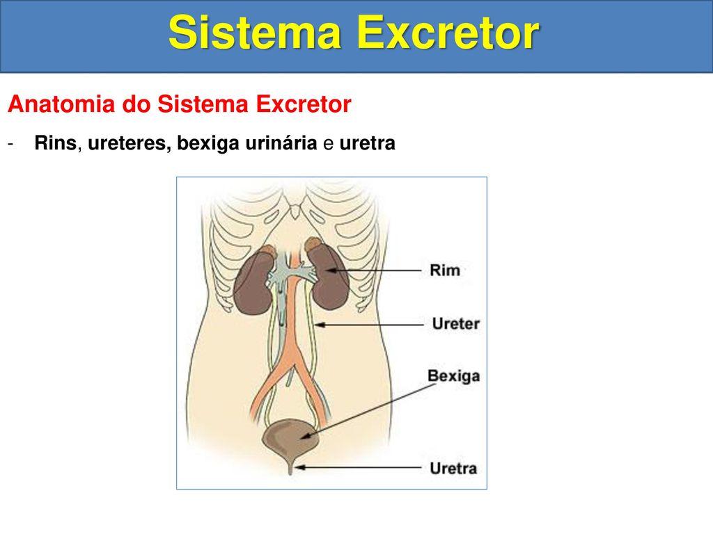 Fantástico Imagen De Sistema Excretor Fotos - Imágenes de Anatomía ...
